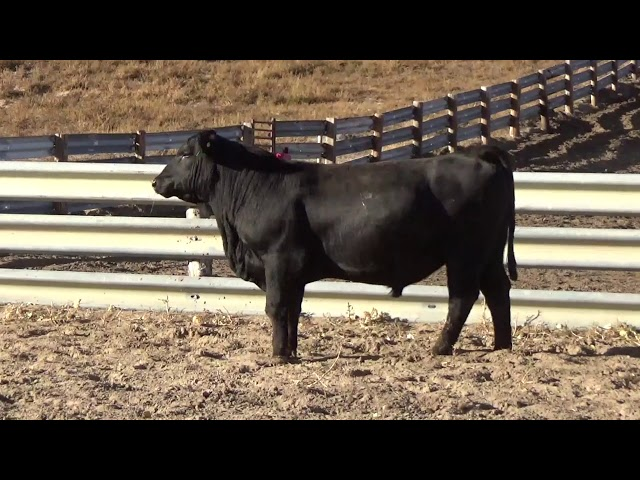 Connealy Angus Lot 206