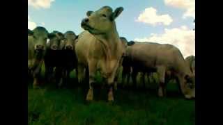 Krowy na łące Agrofirma Witkowo