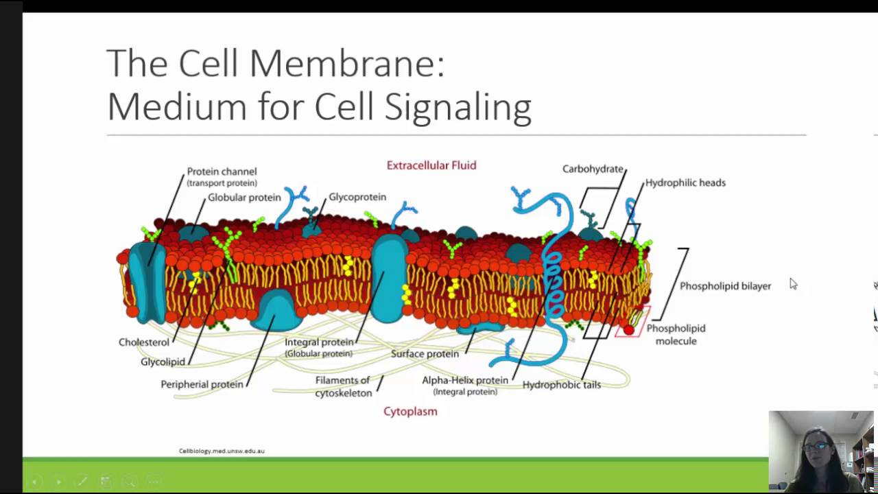 Metabolic regulation cell signaling fn6100mod12016 youtube metabolic regulation cell signaling fn6100mod12016 ccuart Choice Image