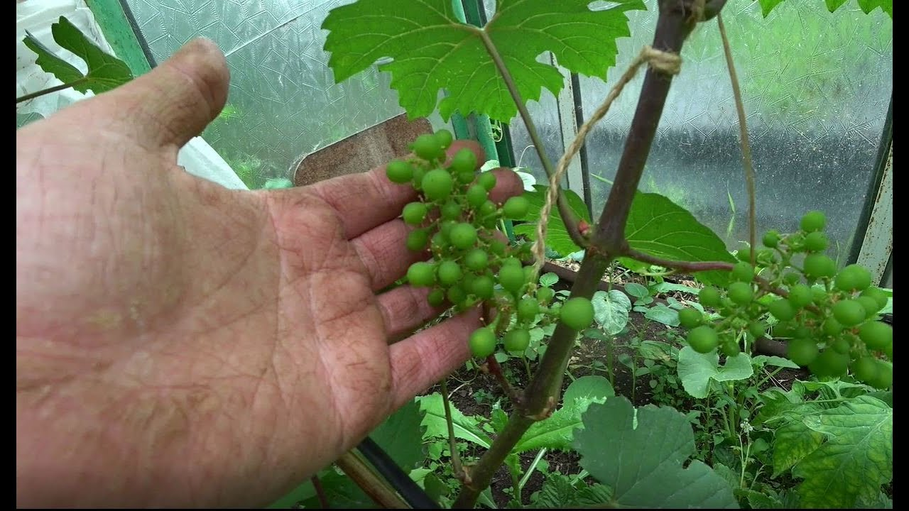 Виноград в теплице. Первые грозди