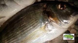 çupra ve melanur  avı balık şov