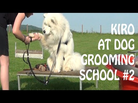 Samoyed at dog grooming school #2