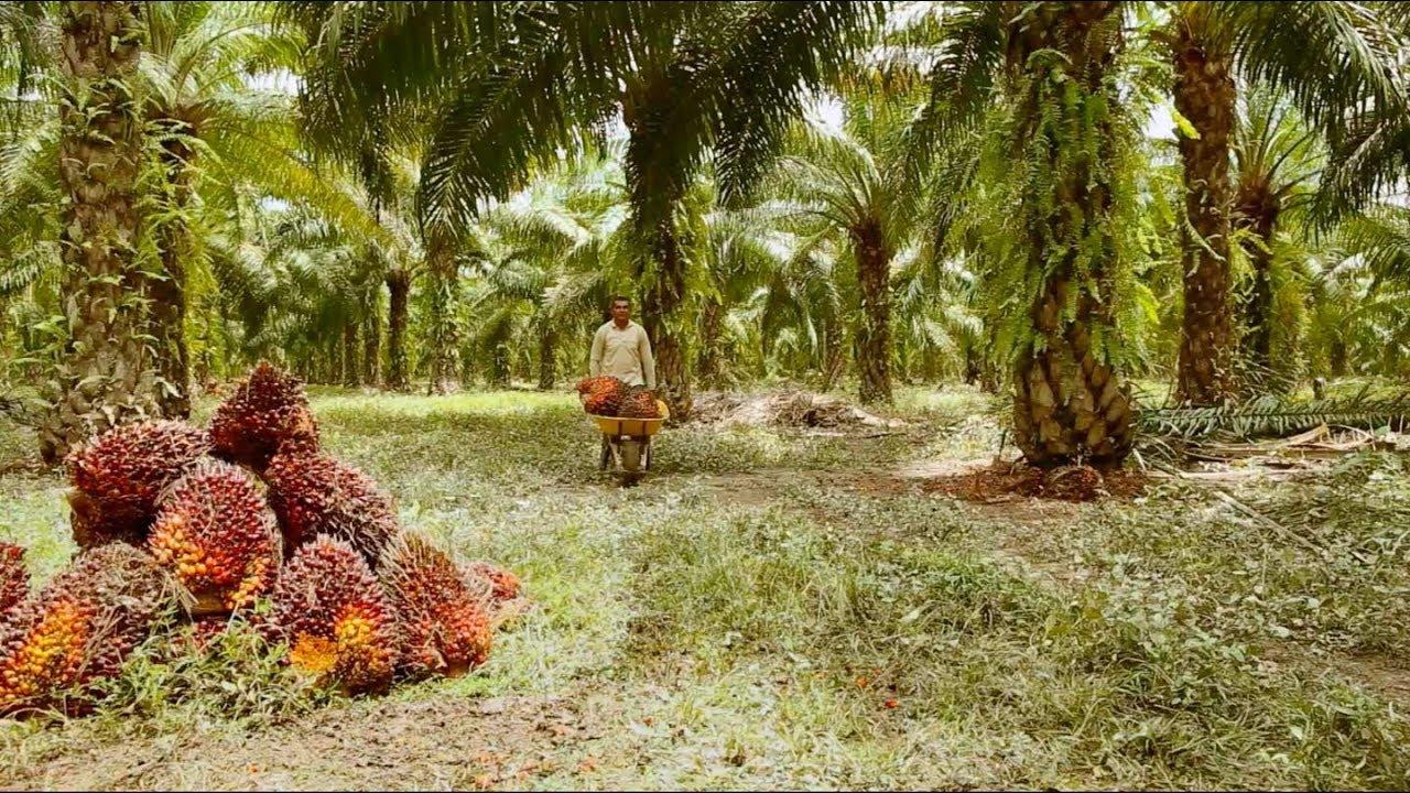 """Résultat de recherche d'images pour """"huile  de palme congo"""""""""""