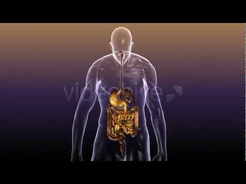 Human Body Anatomy: Digestive System and internal organs - YouTube