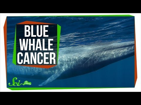Why Don't All Blue Whales Have Cancer?