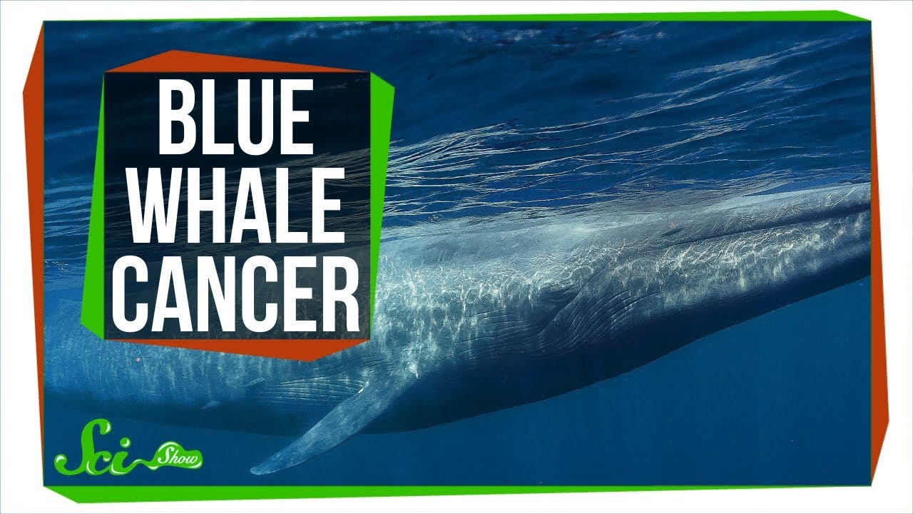 Why Don t All Blue Whales Have Cancer
