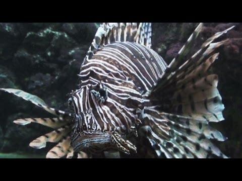 Lionfish Invasion In The Atlantic Ocean