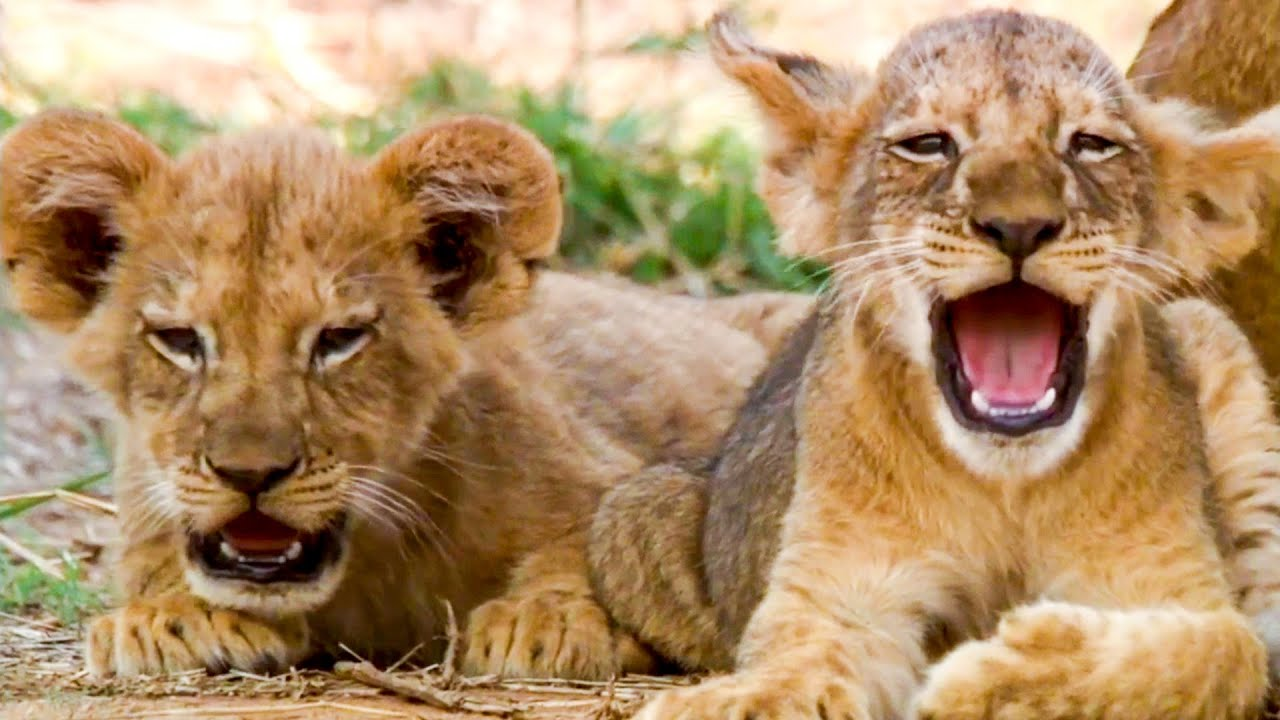 Adorable Lion Moments | Top 5 | BBC Earth