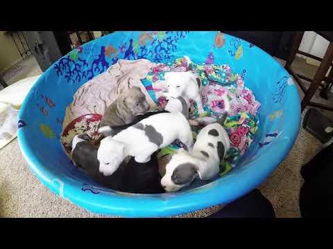Pitbull Puppy for sale Boy White/Blue Spots