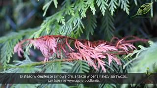 Ogrodnicze SOS odc. 10. Tuje - walka z chorobami i szkodnikami