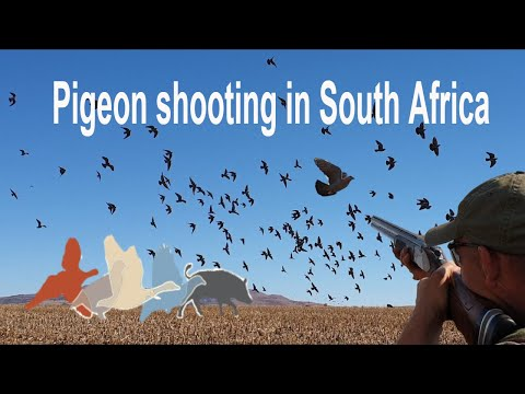 Dove shooting South Africa £175 per day March to August 2018 United Kingdom