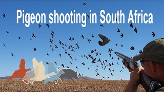 Dove Shooting South Africa- £170 Per Day March To July 2016 Kuwait Saudi Arabia Lebanon
