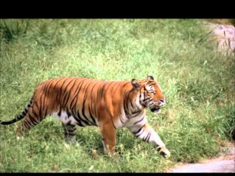 South China Tiger Awareness