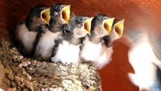 大きな口を開けて待つヒナに頻繁に餌を運ぶ親鳥。 子育て真っ最中の賑や...