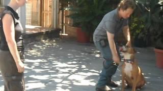 R.i.p. - Kellum - Professionally Trained Bull Terrier / American Bulldog Loves Play, Agility