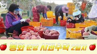 봉화 춘양 사과수확 2일차 오후