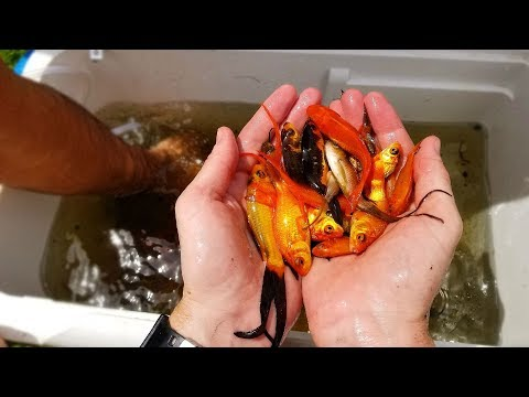 Saving Hundreds of Fish Left to Die! (Rescue Mission)   DALLMYD