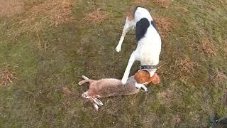6 01 2018 охота на зайца с молодыми гончими.