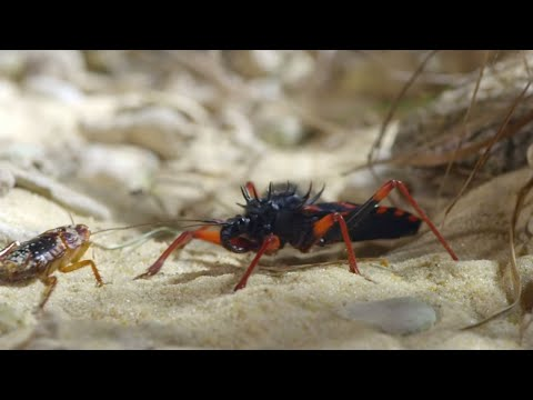 Bugs Eating Bugs Up Close | Insects, Bugs & Scorpions | Love Nature