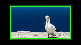 Nigel, the world's loneliest bird, was no victim. He was a hero.