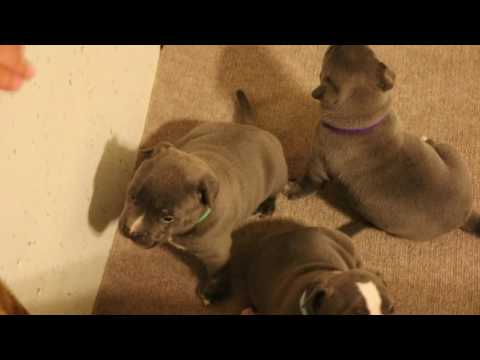 taz x mrs jackson puppies at 4 weeks