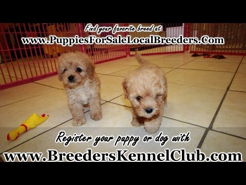 Goldendoodle, Puppies For Sale, In Columbia, South Carolina, SC, 19Breeders, Mount Pleasant, Sumter