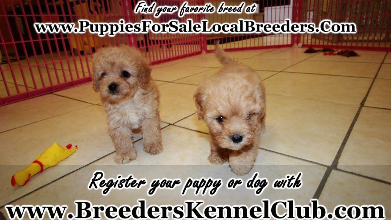 puppies for sale in columbia sc goldendoodle puppies for sale in columbia south 1895