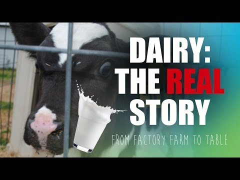 The REAL Story of Dairy: Factory Farm to Table