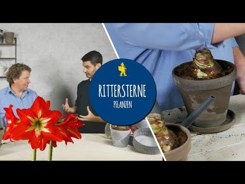 Amaryllis Pflanzen Und Pflegen - Im Topf Und In Der Vase