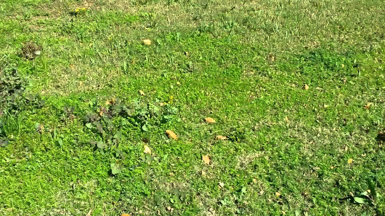 weeds taking over lawn youtube