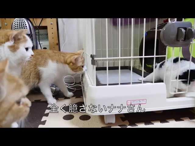 【マンチカンズ】犬に初めて出会った猫一家の反応 ~cats' interviewing with a puppy~