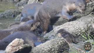 Bishan otter family with new pups!
