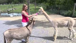 Jealous Donkey VS Lama