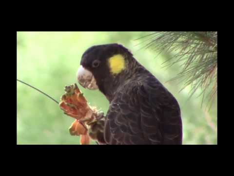 Yellow-tailed black cockatoo – Tasmania