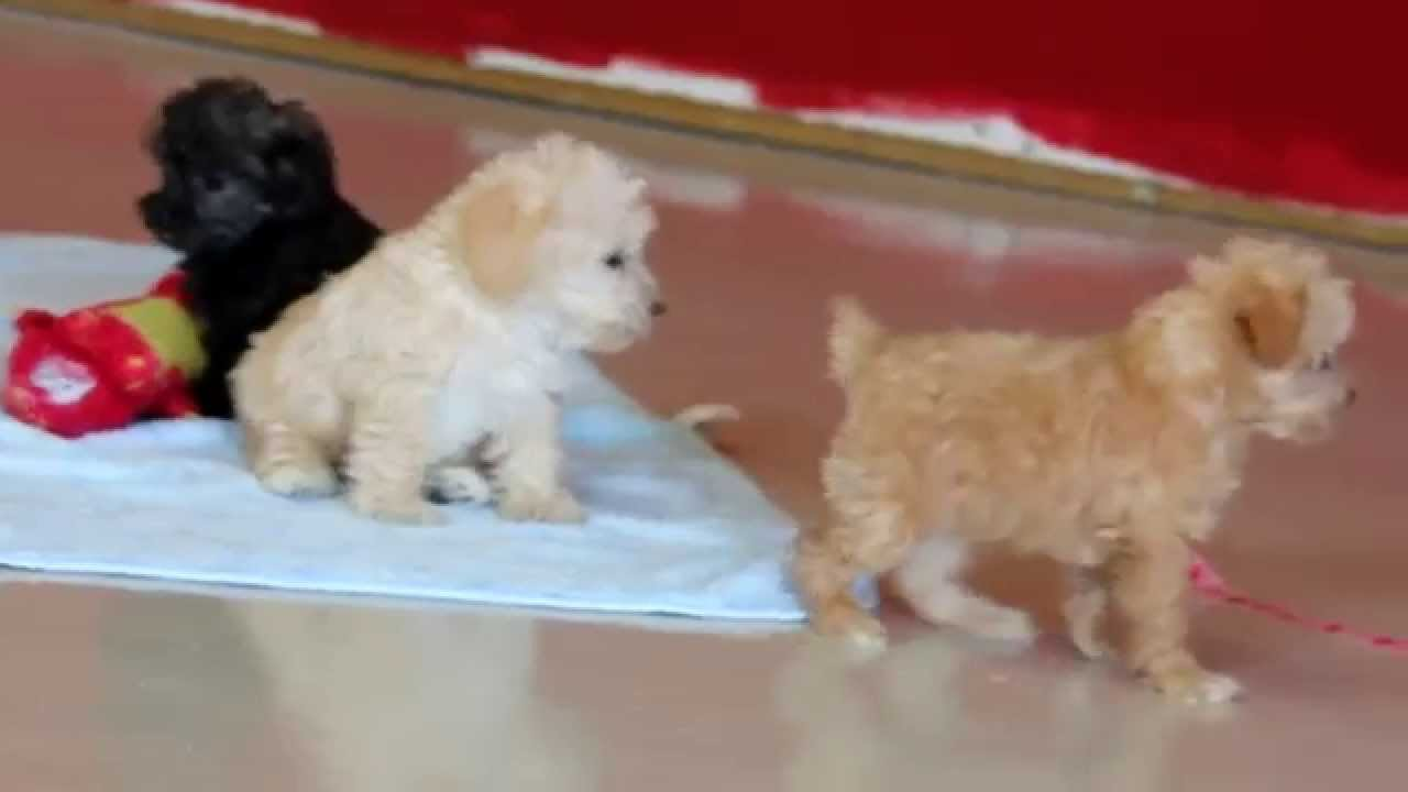 Mini Schnoodle Puppies For Sale Youtube