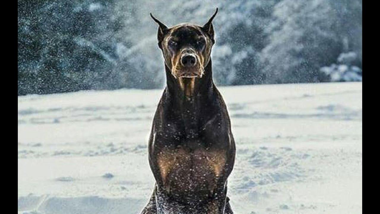 Doberman - Police and Protection Dog - YouTube