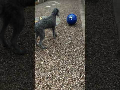 7 Month Old Deerhound Puppy Playing With A Space Hopper