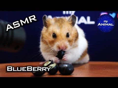 Hamster Eating Blueberry ASMR 🐹10 | Animal ASMR