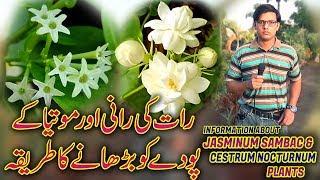 Informative About Raat ki Rani (Cestrum nocturnum) Motia (Jasminum sambac) Plants Care & Tips