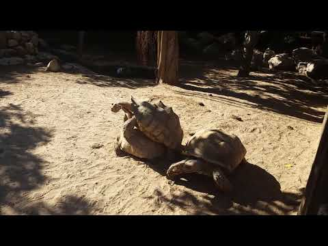 Mating of African spurred tortoises