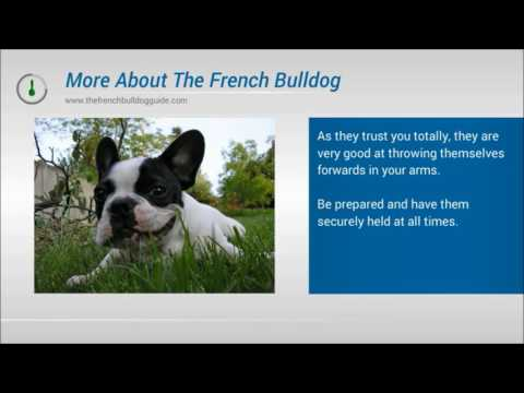 Find Out More About The French Bulldog
