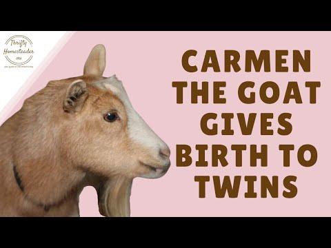 Goat Giving Birth | Doovi