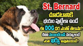 St Bernard Dog Complete Information Including Price,Maintenance, | World's BIGGEST SAINT BERNARD DOG