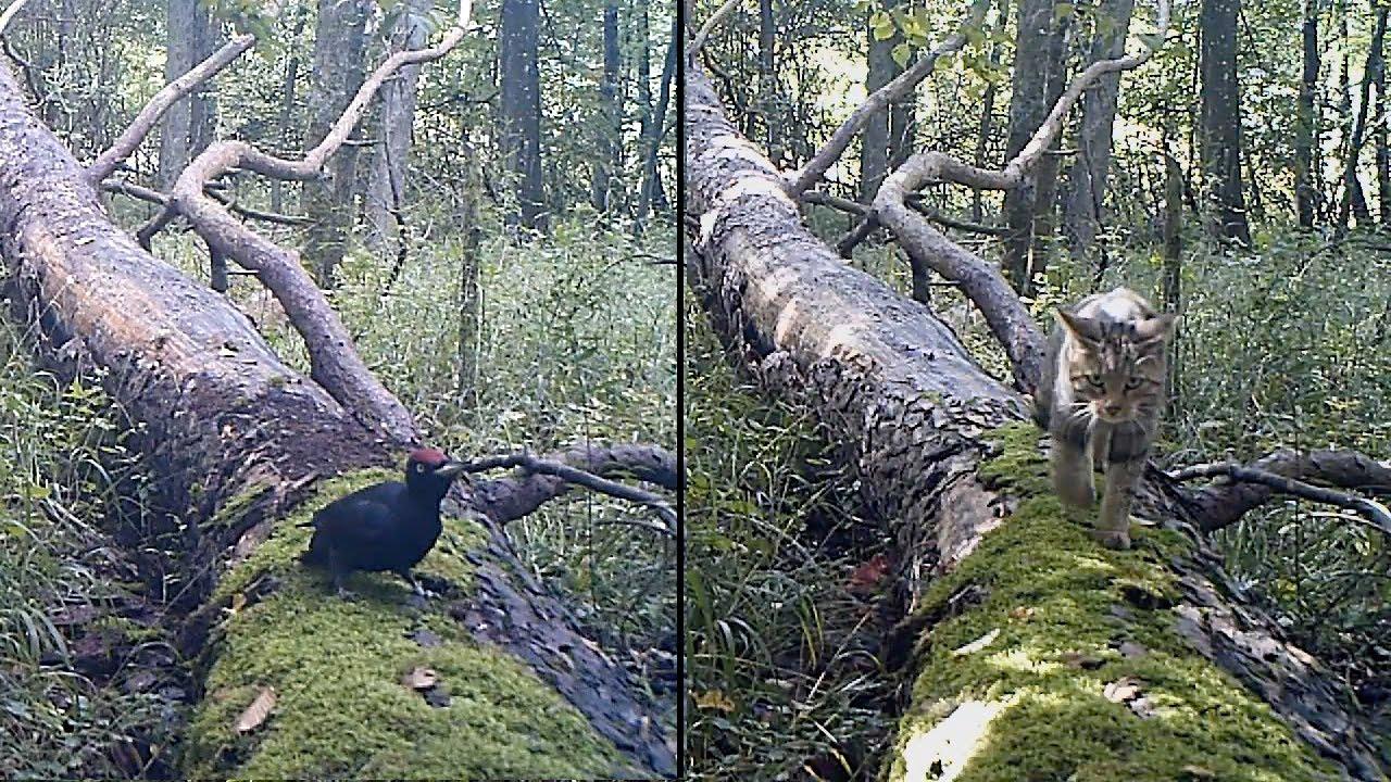 sur un arbre perch s chat sauvage pic noir bonus martre youtube