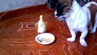 Patito Feo  Tierno Y CariÑoso / Ugly Duckling Come With Shihtzu Puppies