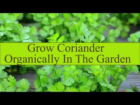 Grow Coriander organically in the garden   How 2 Do It Guide Step By Step   Best Guide Hindi Urdu