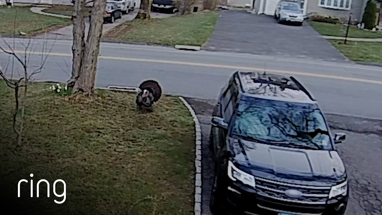 Don't Forget About The Turkey, Funny Moment Captured By Ring Floodlight Cam   Ring TV