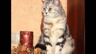 Шотландские кошки питомник