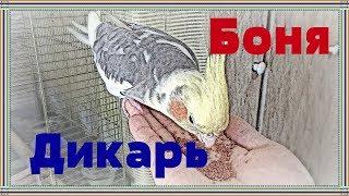 Приручение попугая кореллы Бони.