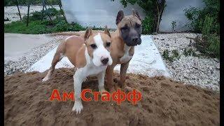 Ам стафф против песка самая крутая прогулка с бойцовой собакой в ремонт